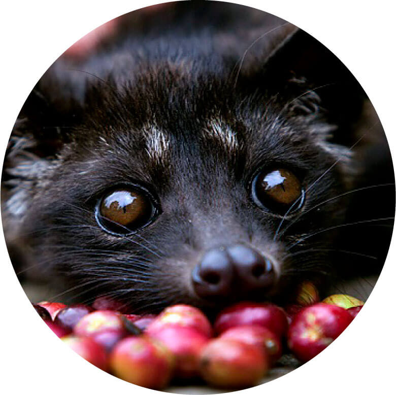 Kopi Luwak coffee circled
